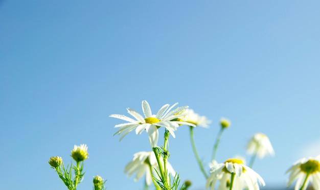 Kamille auf blauem himmel hintergrund