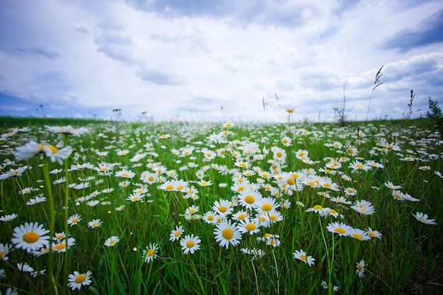 Kamille blüht im sommerfeld