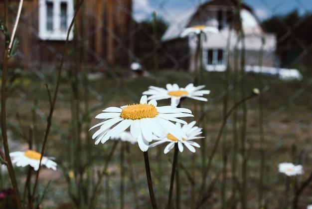 Kamille garten. weiße blumen des kamillengänseblümchens.