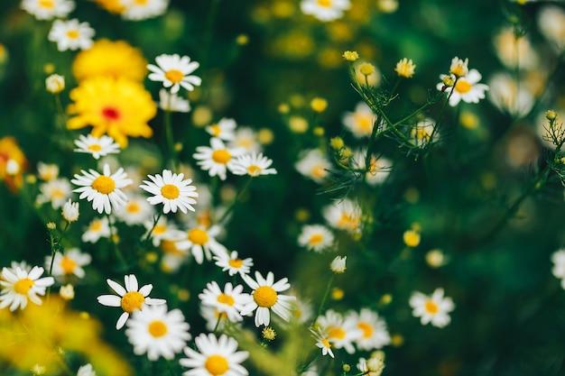 Kamille im garten. weiße blüten von kamillengänseblümchen