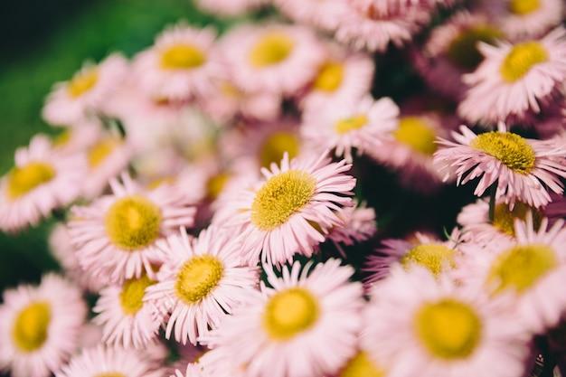 Kamille im sommergarten. fotografie magische blume auf unscharfem hintergrund