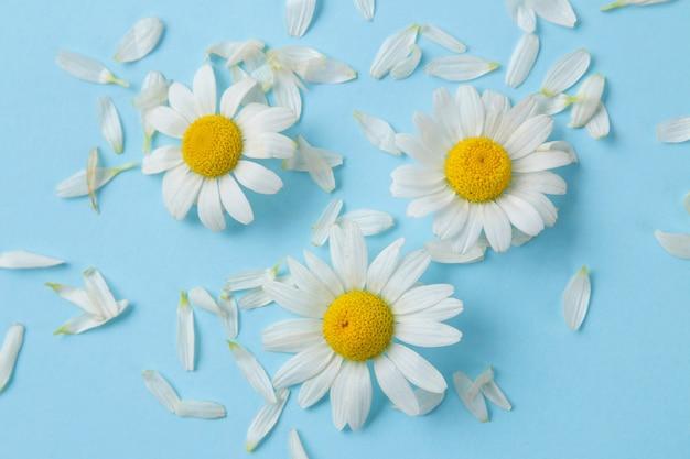 Kamille. medizinische kleine gänseblümchen und blütenblätter auf einem sanften hellblauen hintergrund. ansicht von oben