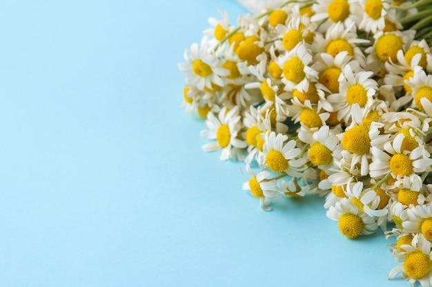Kamille. medizinische kleine gänseblümchenblumen, ein blumenstrauß auf einem sanften hellblauen hintergrund. platz für text