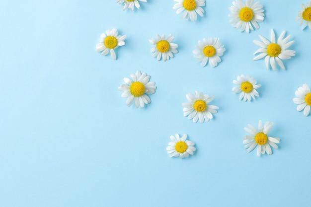 Kamille. medizinische kleine kamillenblüten auf einem sanften hellblauen hintergrund. ansicht von oben. platz für text