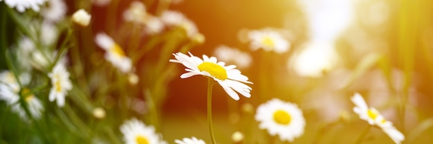 Kamille oder daisy white flower bush in voller blüte auf einem hintergrund von grünen blättern und gras