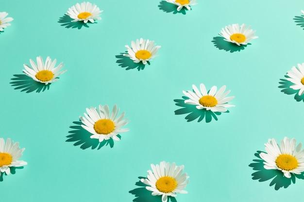 Kamillenblüten auf abstraktem hellem minzhintergrund. minimales vollblütenkonzept mit hartem licht.