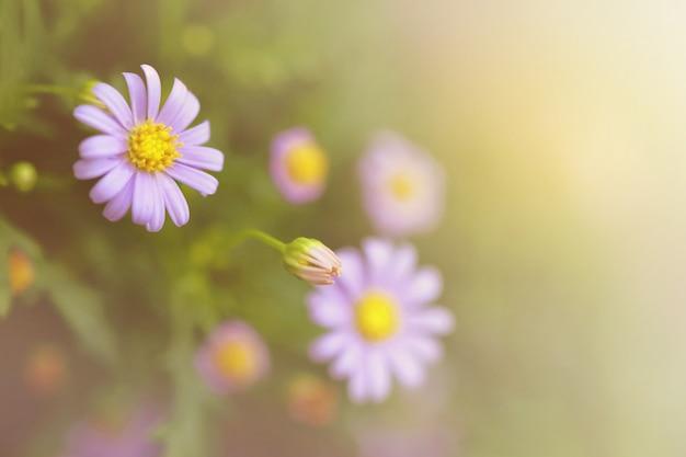 Kamillenblüten im sonnenlicht. sommer gänseblümchen. weiche fokus gänseblümchen im sonnenlicht.