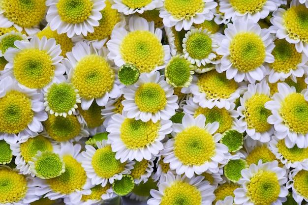 Kamillenblüten. kamillenhintergrund-gänseblümchenblumen