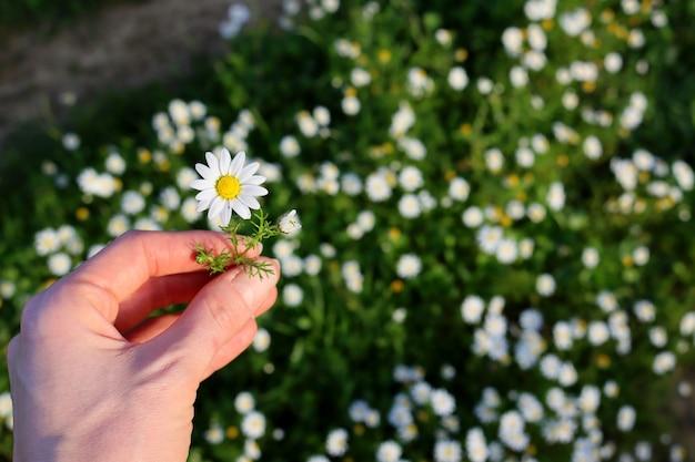 Kamillenblume in der weiblichen hand auf unscharfem hintergrund des kamillenfeldes