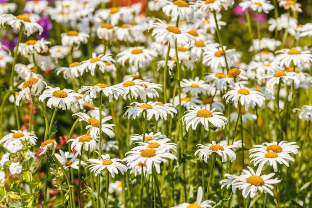Kamillenblumen auf einer wiese im sommer