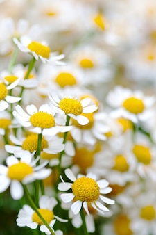 Kamillenblumen in nahaufnahme. wilde gänseblümchennahaufnahme der schönheit