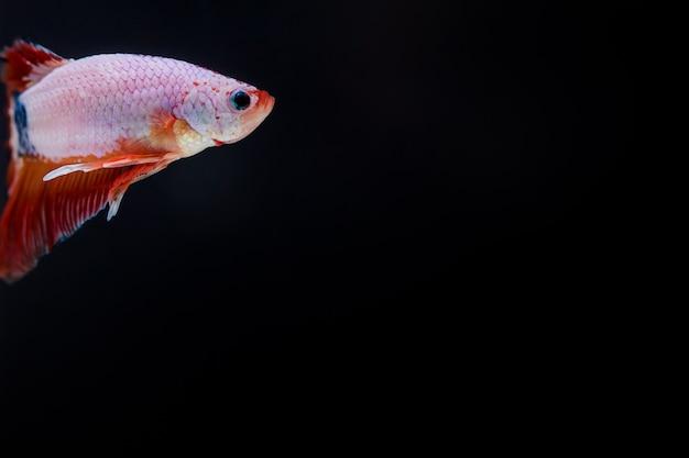 Kampf gegen fische (betta splendens) fische mit einem schönen