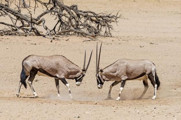 Kampf gegen oryx in der kalahari-wüste namibia