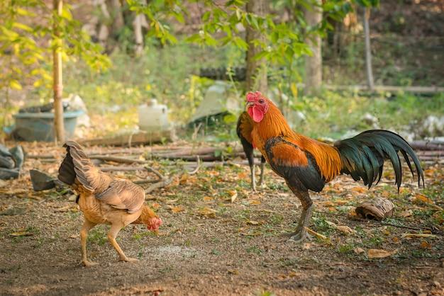 Kampfhahn oder kampfhahn in thailand