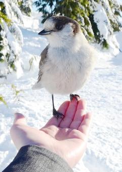 Kanada jay, der auf der hand einer person in einem verschneiten wald ruht