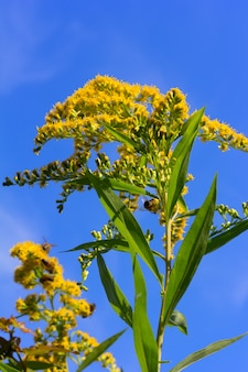 Kanadische goldrute mit den bienen, die blütenstaub auf einem hintergrund des blauen himmels sammeln