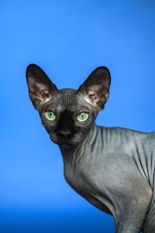 Kanadische sphynxkatze nahaufnahmeporträt einer entzückenden haarlosen weiblichen katze auf blauem hintergrund