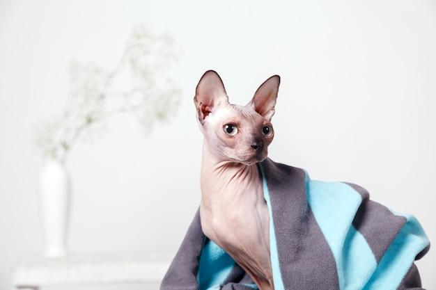 Kanadisches sphinxsitzen der nackten katze bedeckt mit einer decke