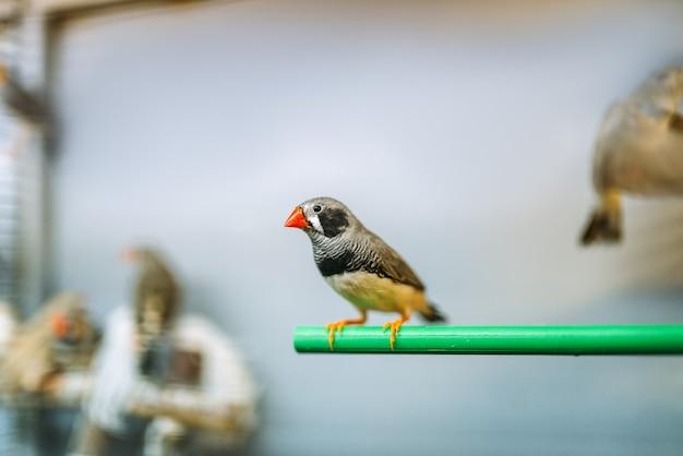 Kanarienvogel sitzt auf einem stock in der tierhandlung
