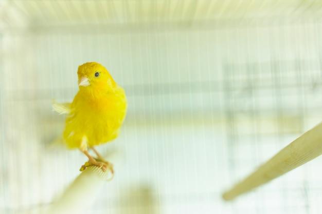 Kanarienvogel sitzt und schwingt im käfig