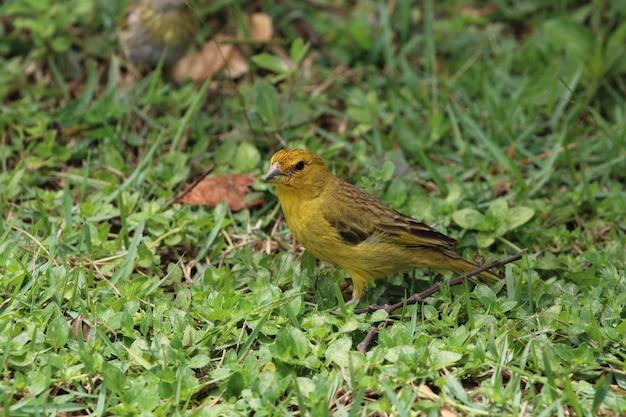 Kanarischer vogel