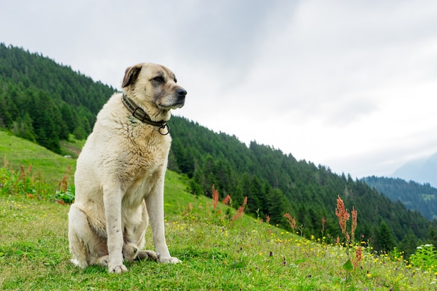 Kangal hund dort pokut plateau rize camlihemsin türkei