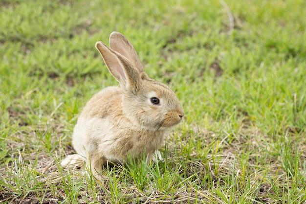 Kaninchen auf einer blumenwiese. wilder hase im wiesenabschluß oben
