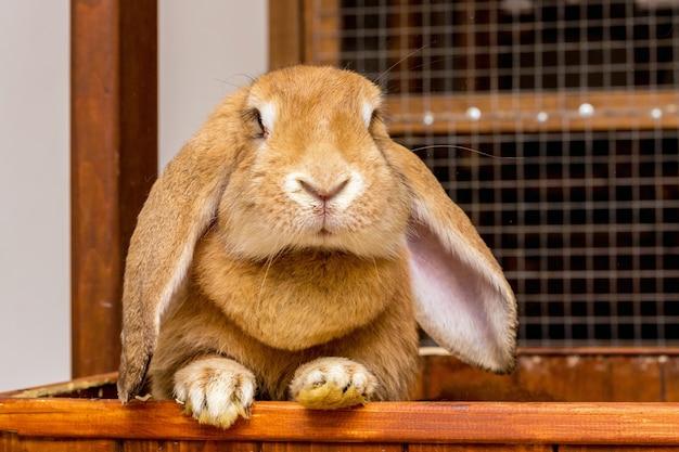 Kaninchen der rasse französischer widder mit gesenkten ohren schaut aus dem käfig_