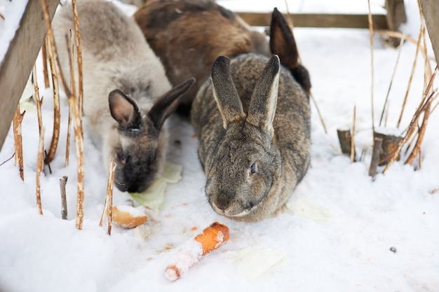 Kaninchen, tier, säugetier, schnee, süß, hase, fell, winter, eichhörnchen, natur, haustier, wild, braun, wild lebende tiere, nagetiere, flauschig, weiß, bauernhof, nahrung, ohren, kaninchen, haustiere, dorf