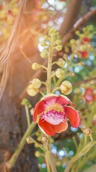 Kanonenkugelbaum (couroupita guianensis)