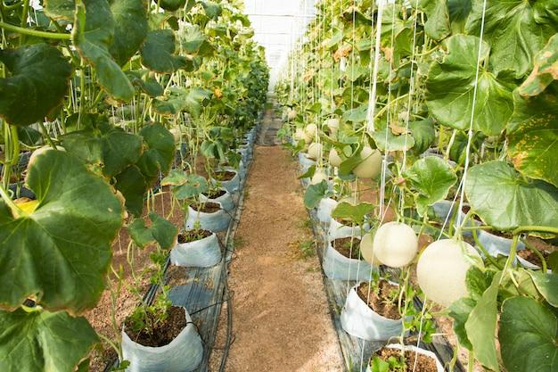 Kantalupenmelonen, die in einem gewächshaus wachsen