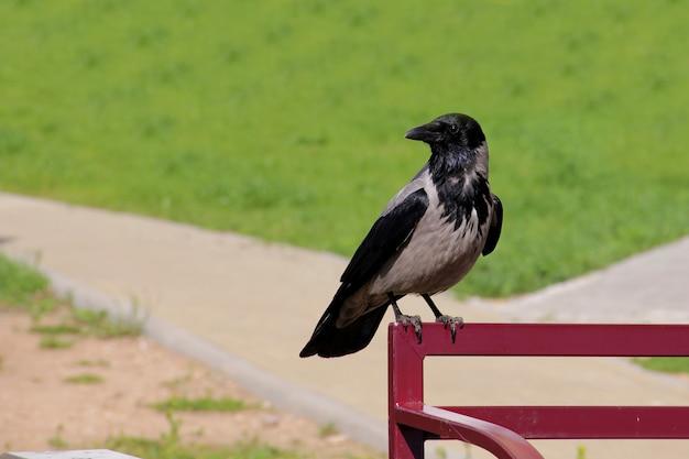 Kapuzenkrähe sitzt auf der bank