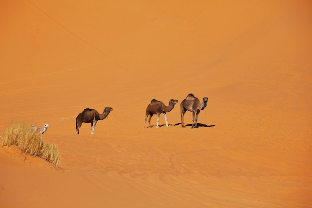 Karawane in der sahara wüste