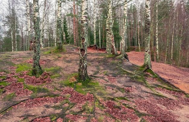 Karelischer birkenhain im herbst in karelien, russland