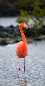 Karibische flamingos, die in der lagune stehen. die galapagosinseln. vögel. ecuador.