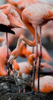 Karibischer flamingo auf einem nest mit küken. kuba.
