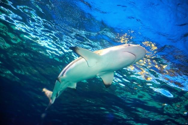 Karibischer riffhai (carcharhinus perezii) im blauen ozeanwasser