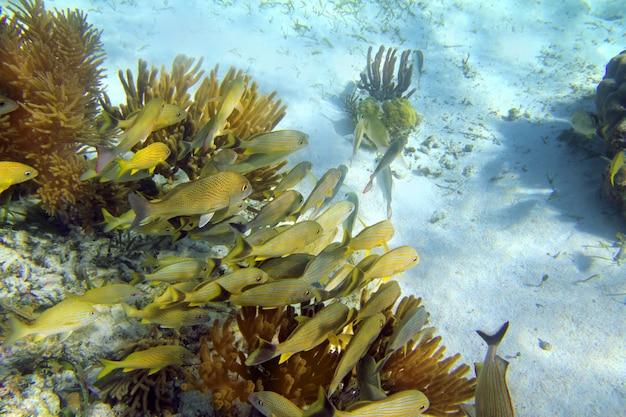 Karibisches riff grunzen fischschule maya riviera