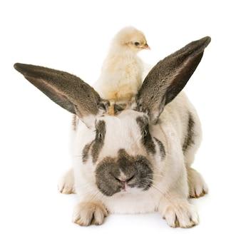 Kariertes riesiges kaninchen und küken