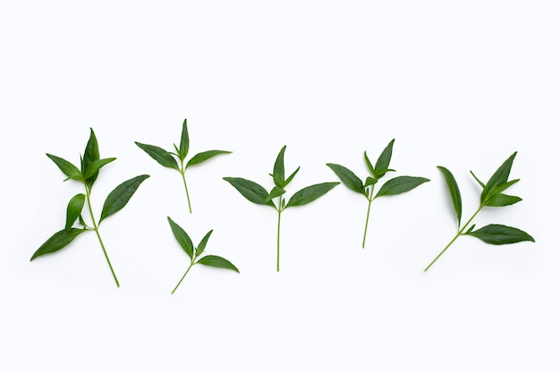 Kariyat oder andrographis paniculata grüne blätter auf weißem hintergrund.