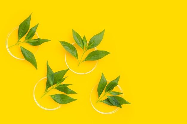 Kariyat oder andrographis paniculata grüne blätter in petrischalen auf gelbem hintergrund.