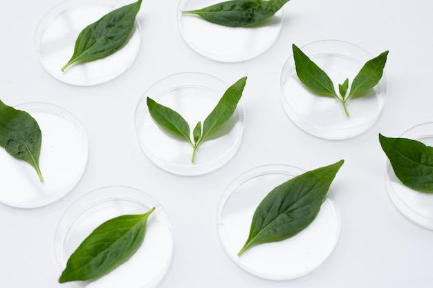 Kariyat oder andrographis paniculata grüne blätter in petrischalen auf weiß Premium Fotos