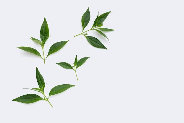 Kariyat oder andrographis paniculata grüne blätter in petrischalen auf weiß
