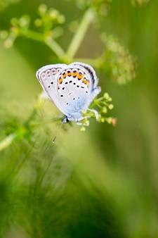 Karner blue butterfly (polyommatus icarus) makro.
