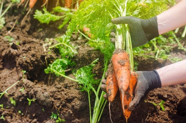 Karotte in den händen eines bauern. ernte