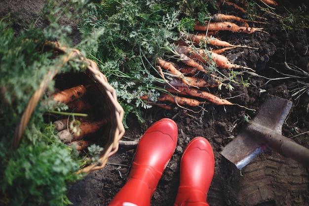 Karotten ernten. viele karotten in einem korb im garten, rote gummistiefel und eine schaufel.