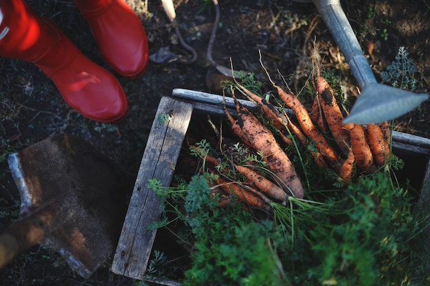 Karotten ernten. viele karotten in einer kiste im garten, rote gummistiefel und eine schaufel.