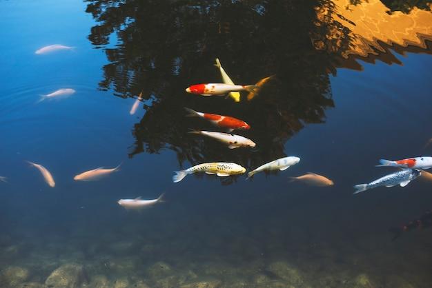 Karpfen-fische, die im pool schwimmen