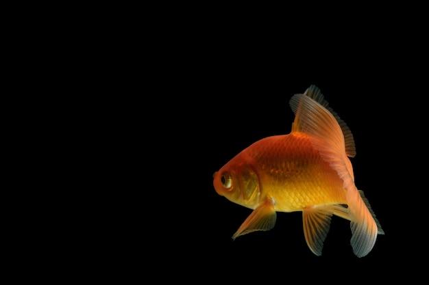 Karpfen goldener fisch