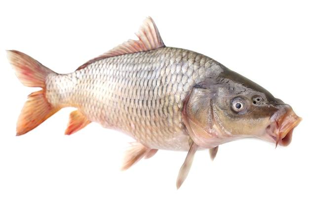 Karpfenfisch auf weißem hintergrund